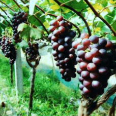 〔精品课程〕2019更新版《葡萄种植教程大全》
