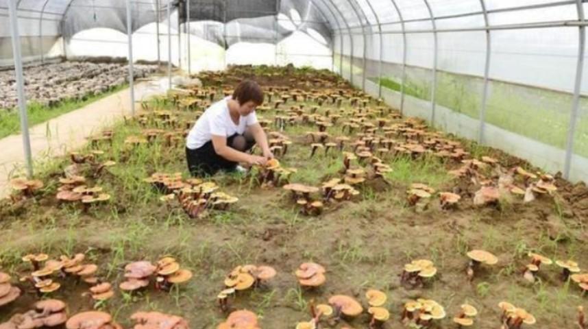 食用菌栽培技术知识,食用菌菇怎么种植技术